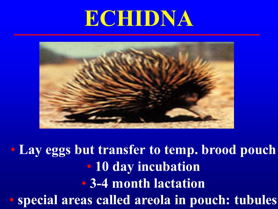 ECHIDNA Lay eggs but transfer to temp. brood pouch 10 day incubation