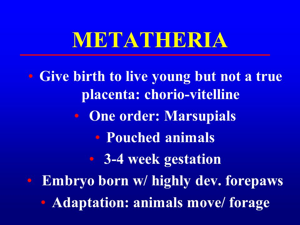 METATHERIA Give birth to live young but not a true placenta: chorio-vitelline. One order: Marsupials.