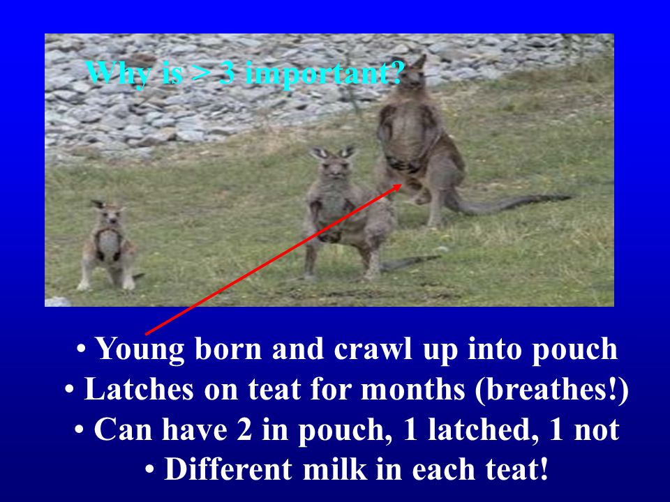 Young born and crawl up into pouch