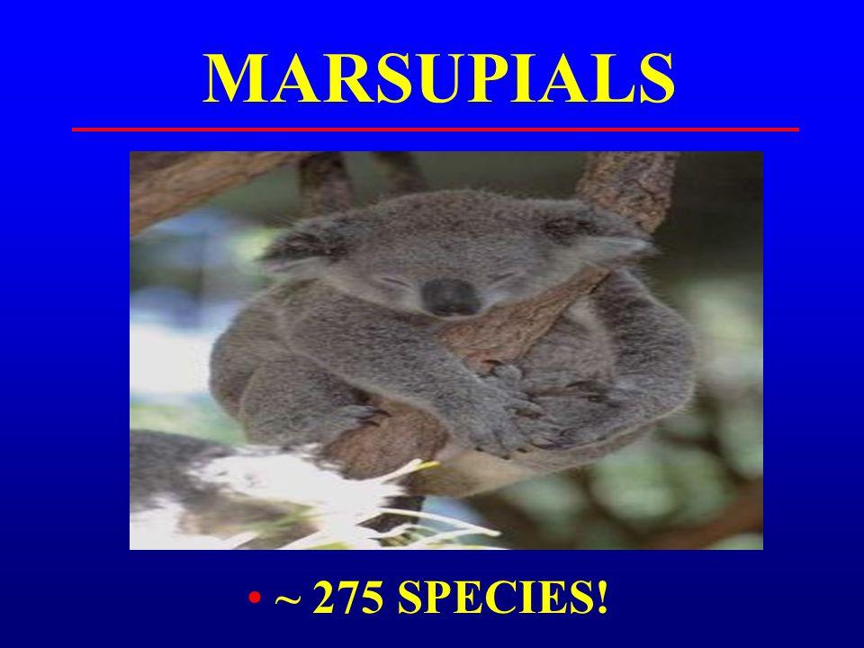 MARSUPIALS ~ 275 SPECIES!