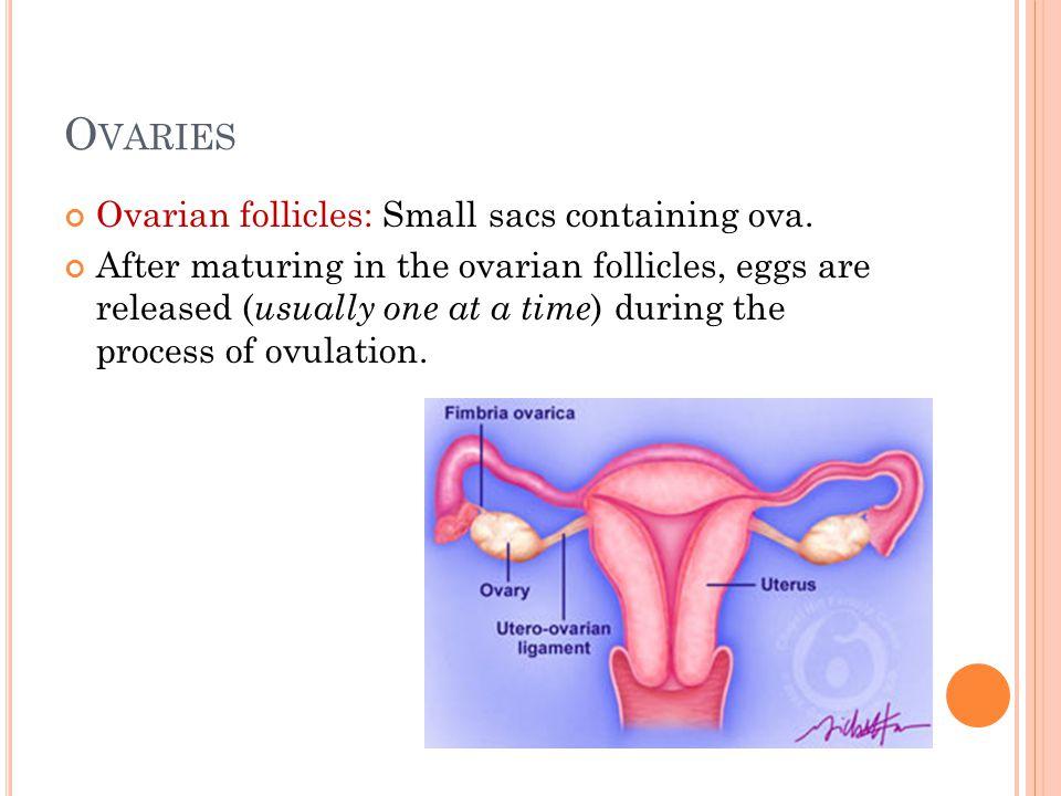 Ovaries Ovarian follicles: Small sacs containing ova.