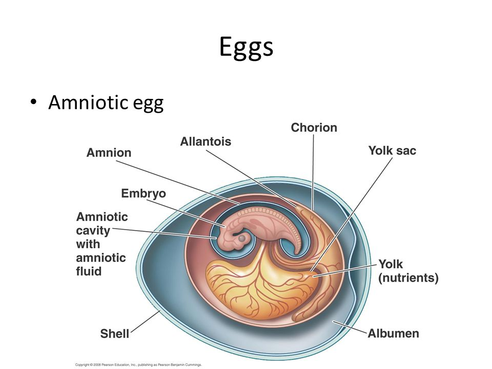 Eggs Amniotic egg