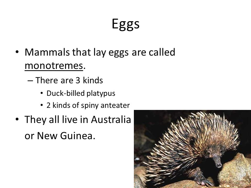 Eggs Mammals that lay eggs are called monotremes.