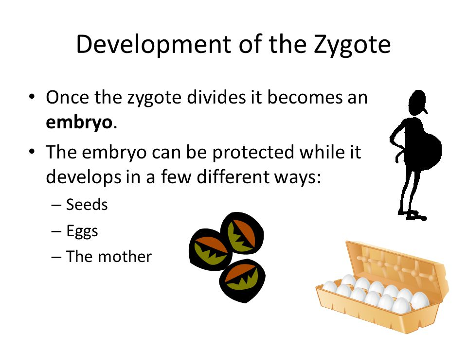 Development of the Zygote