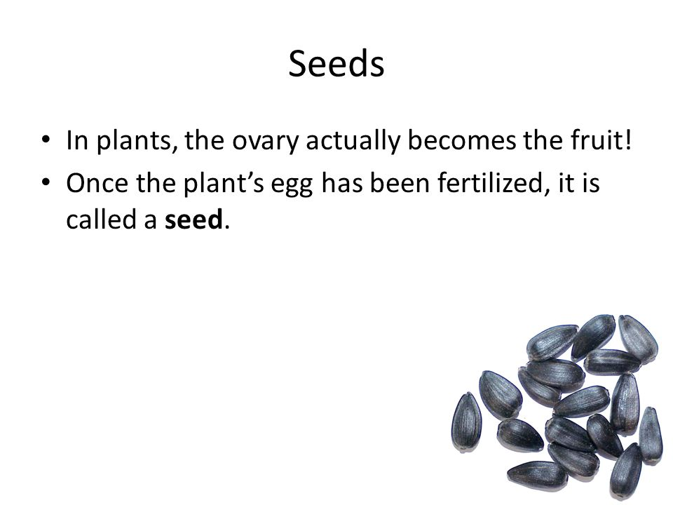 Seeds In plants, the ovary actually becomes the fruit!
