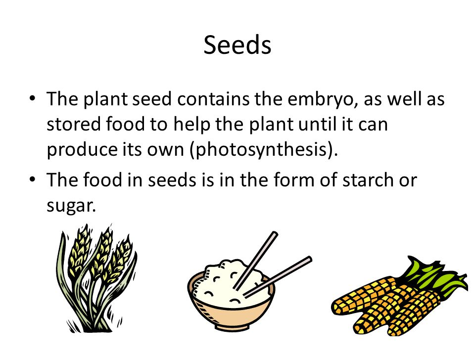 Seeds The plant seed contains the embryo, as well as stored food to help the plant until it can produce its own (photosynthesis).