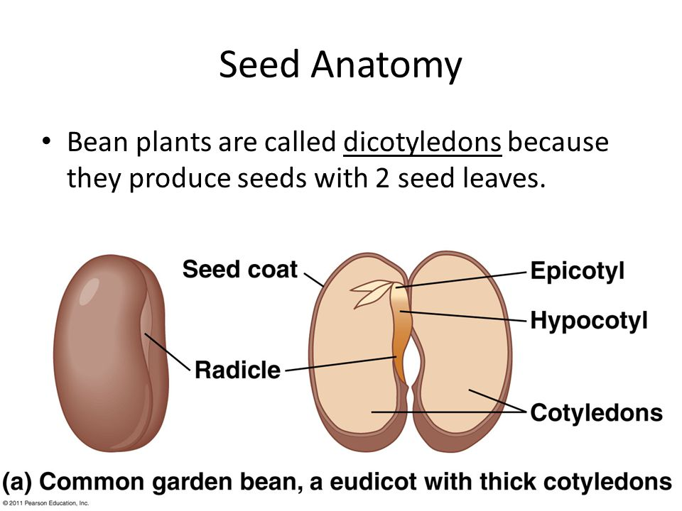 Seed Anatomy Bean plants are called dicotyledons because they produce seeds with 2 seed leaves.