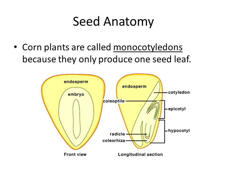 Seed Anatomy Corn plants are called monocotyledons because they only produce one seed leaf.