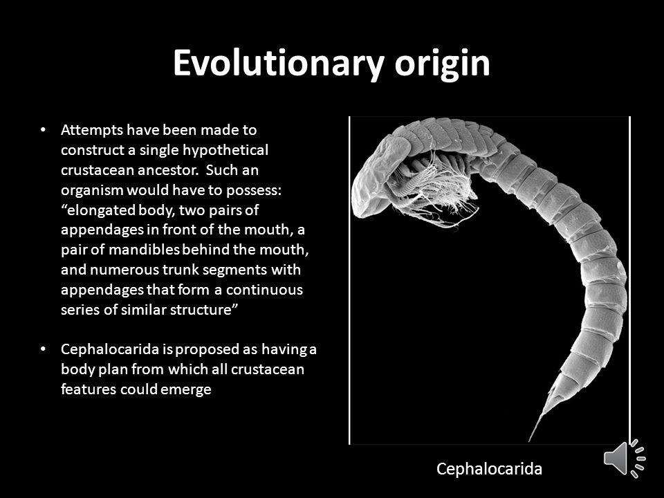 Evolutionary origin Cephalocarida