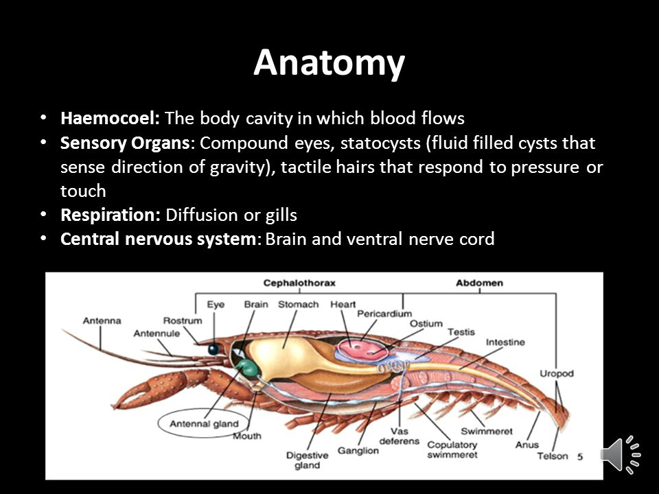 Anatomy Haemocoel: The body cavity in which blood flows