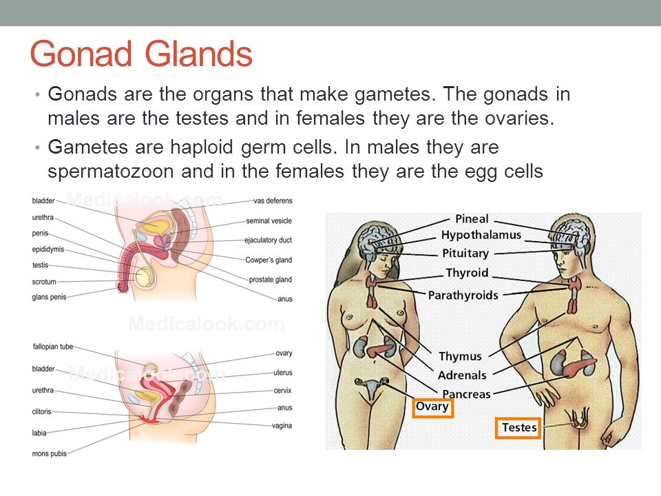 Gonad Glands Gonads are the organs that make gametes. The gonads in males are the testes and in females they are the ovaries.