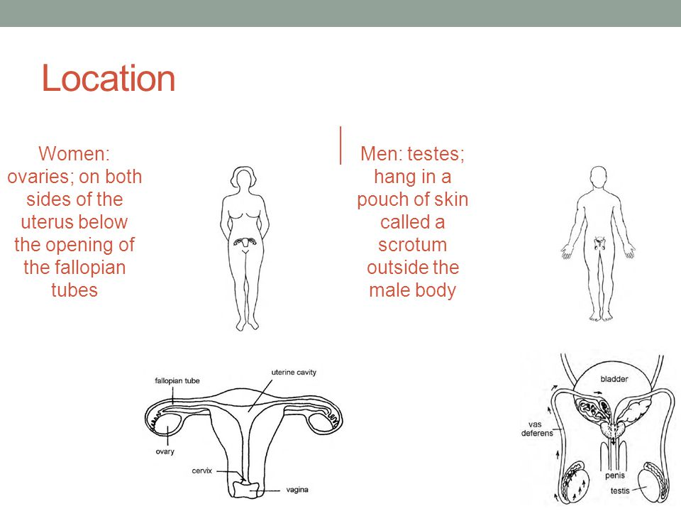 Location Women: ovaries; on both sides of the uterus below the opening of the fallopian tubes.