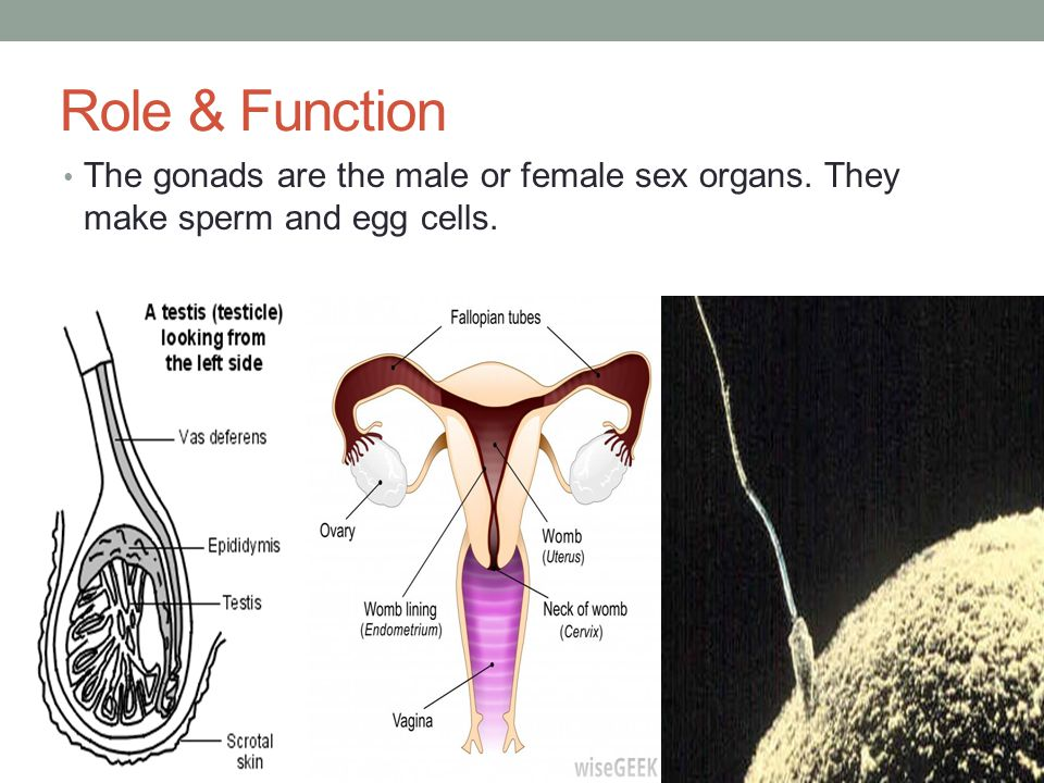 Role & Function The gonads are the male or female sex organs. They make sperm and egg cells.