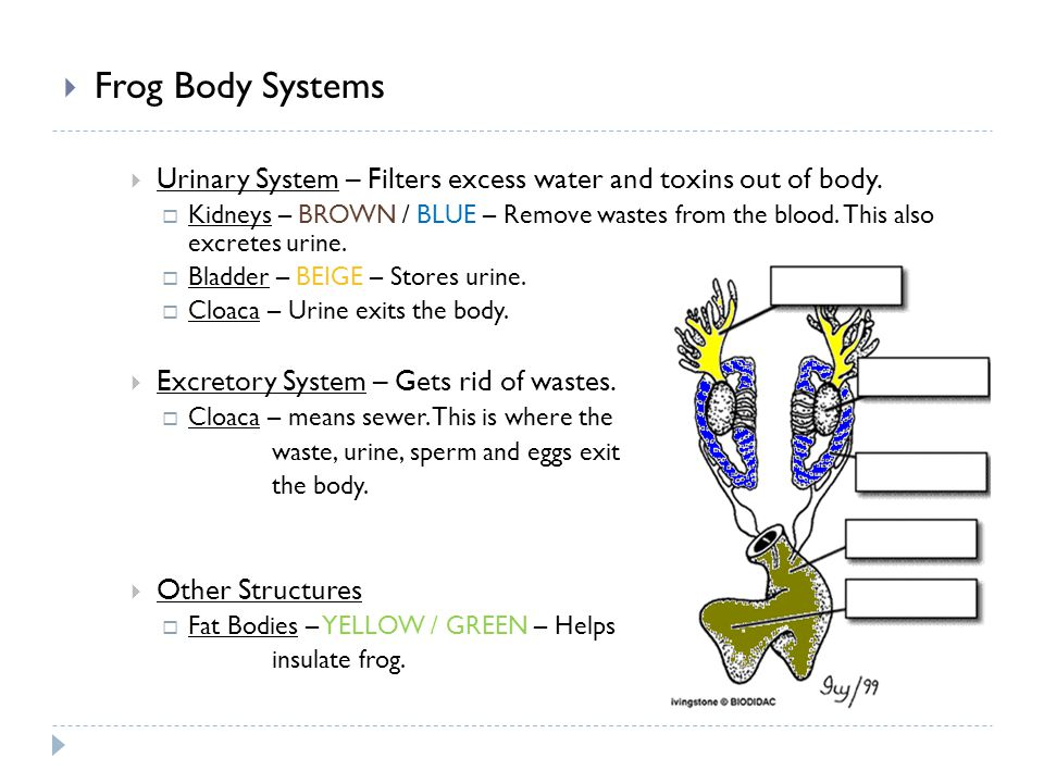 Frog Body Systems Urinary System – Filters excess water and toxins out of body.