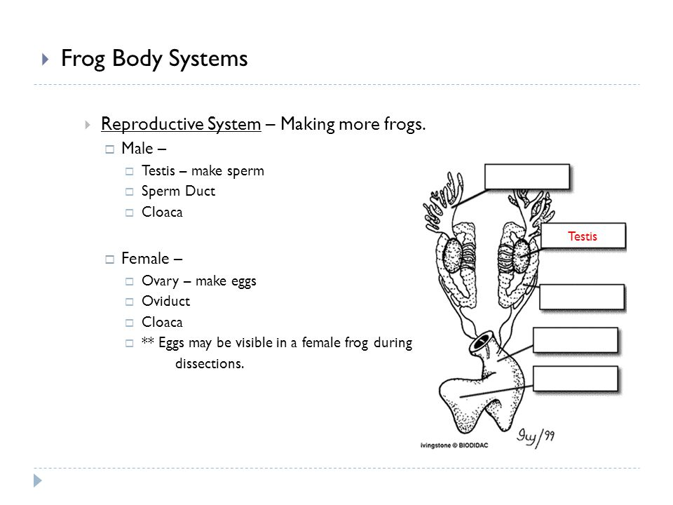 Frog Body Systems Reproductive System – Making more frogs. Male –