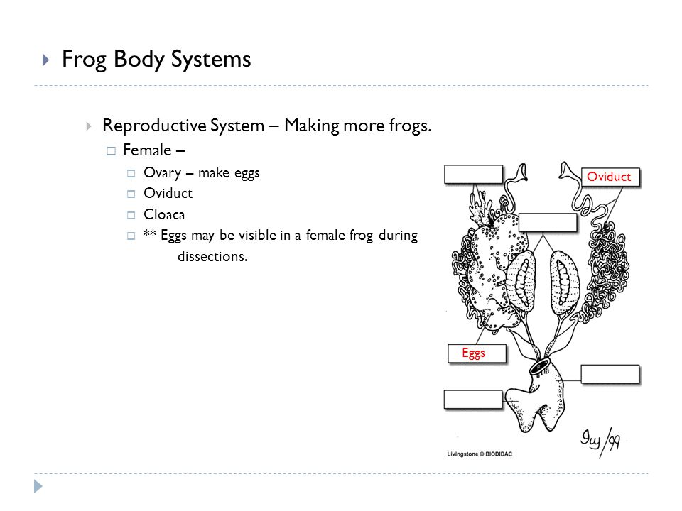 Frog Body Systems Reproductive System – Making more frogs. Female –
