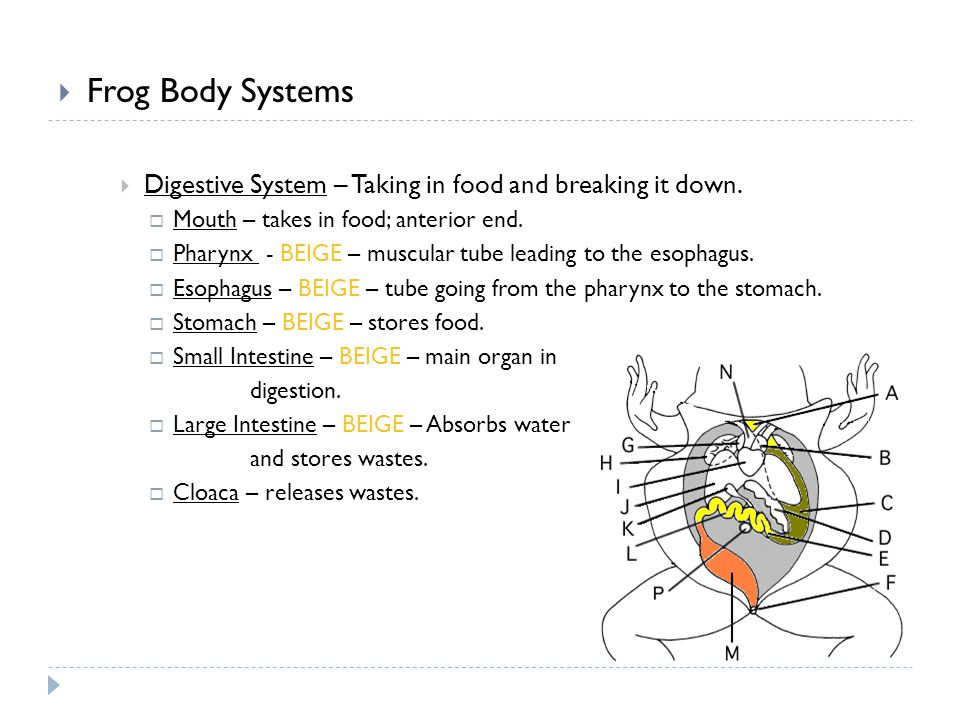 Frog Body Systems Digestive System – Taking in food and breaking it down. Mouth – takes in food; anterior end.