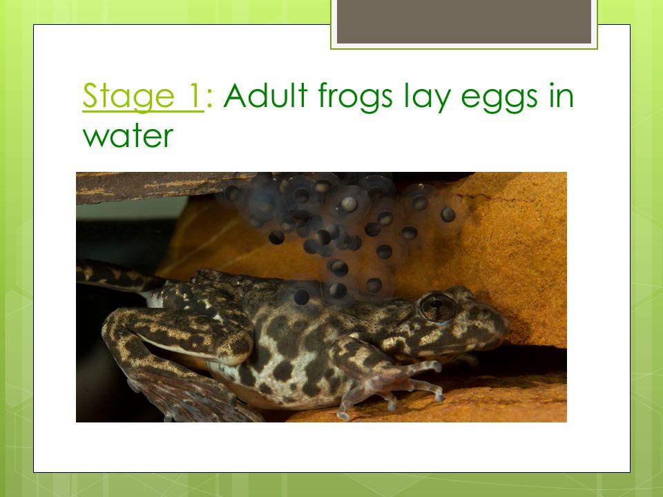 Stage 1: Adult frogs lay eggs in water