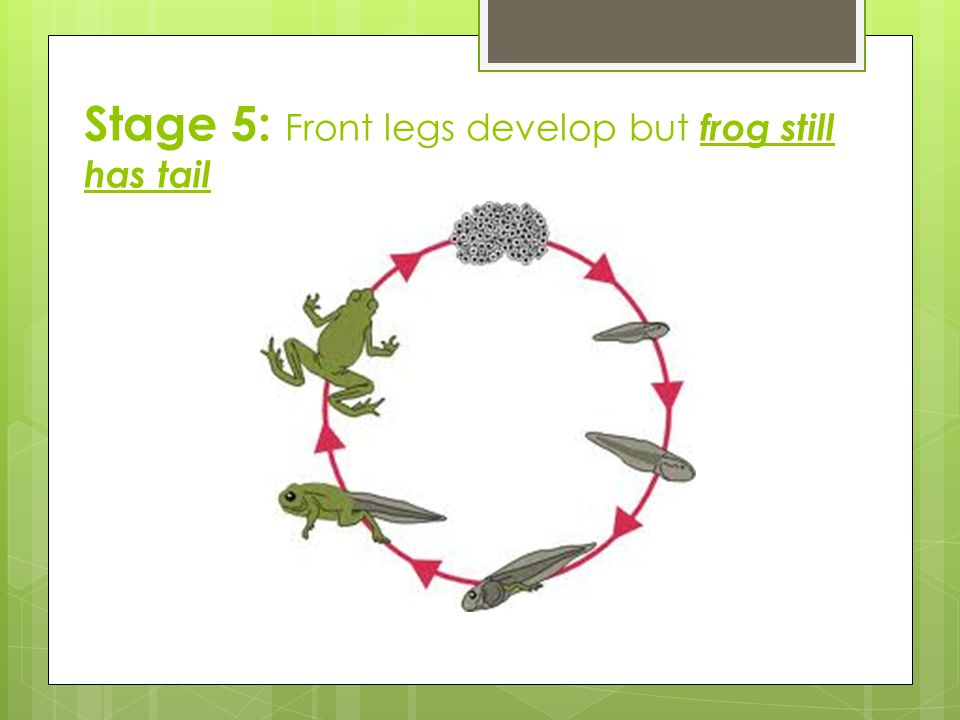 Stage 5: Front legs develop but frog still has tail
