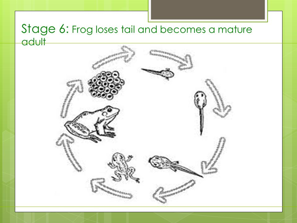 Stage 6: Frog loses tail and becomes a mature adult