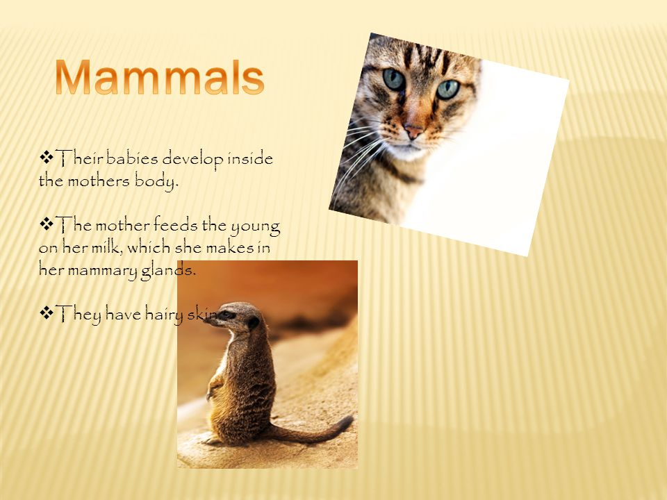Mammals Their babies develop inside the mothers body.