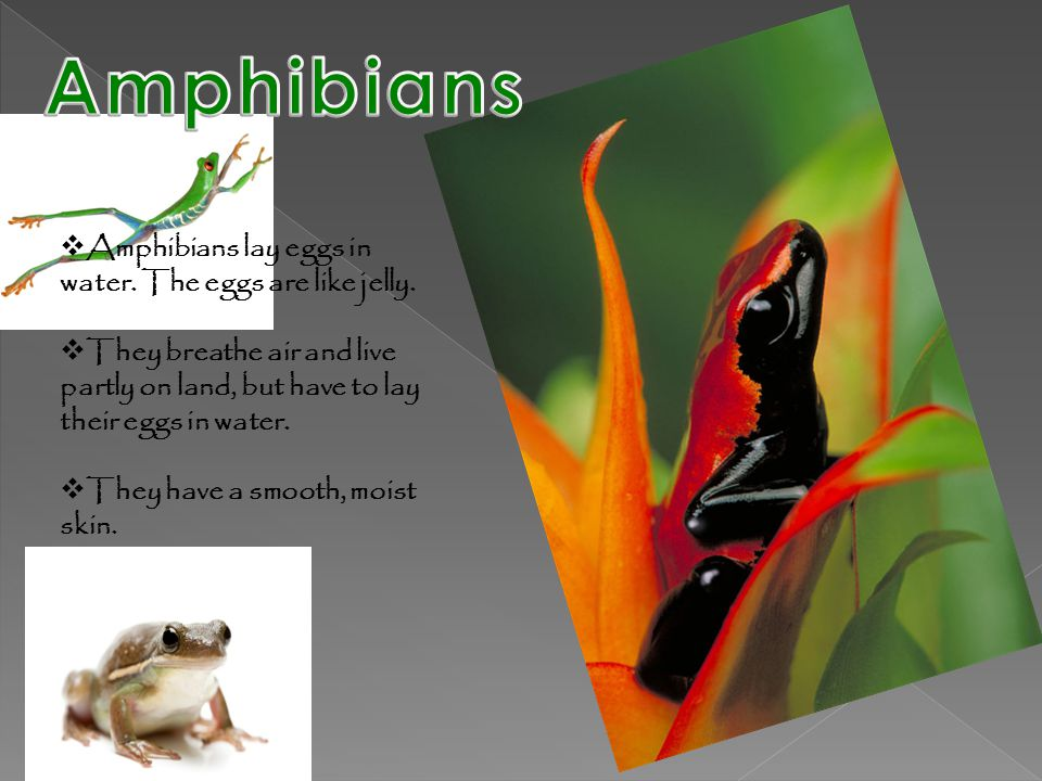 Amphibians Amphibians lay eggs in water. The eggs are like jelly.