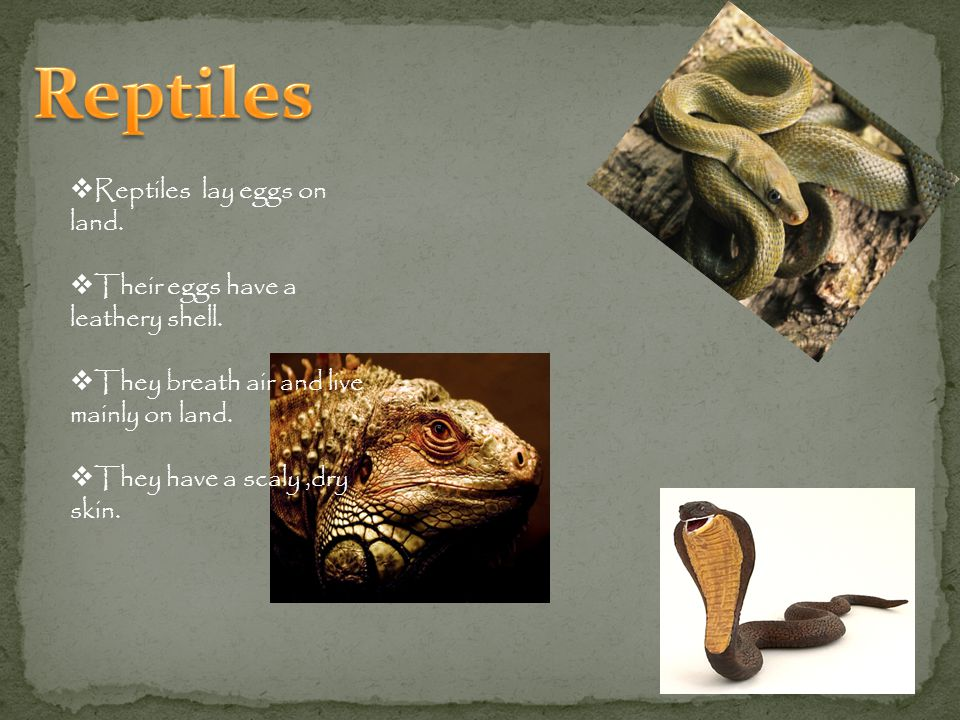 Reptiles Reptiles lay eggs on land. Their eggs have a leathery shell.