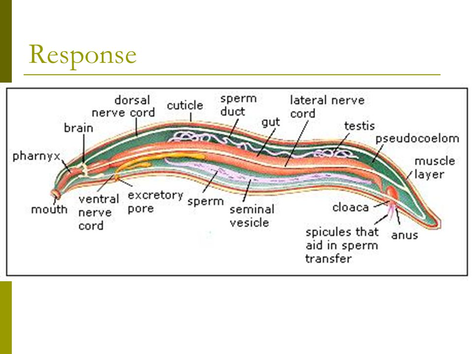Response Nematodes have simple nervous systems, consisting of several ganglia.