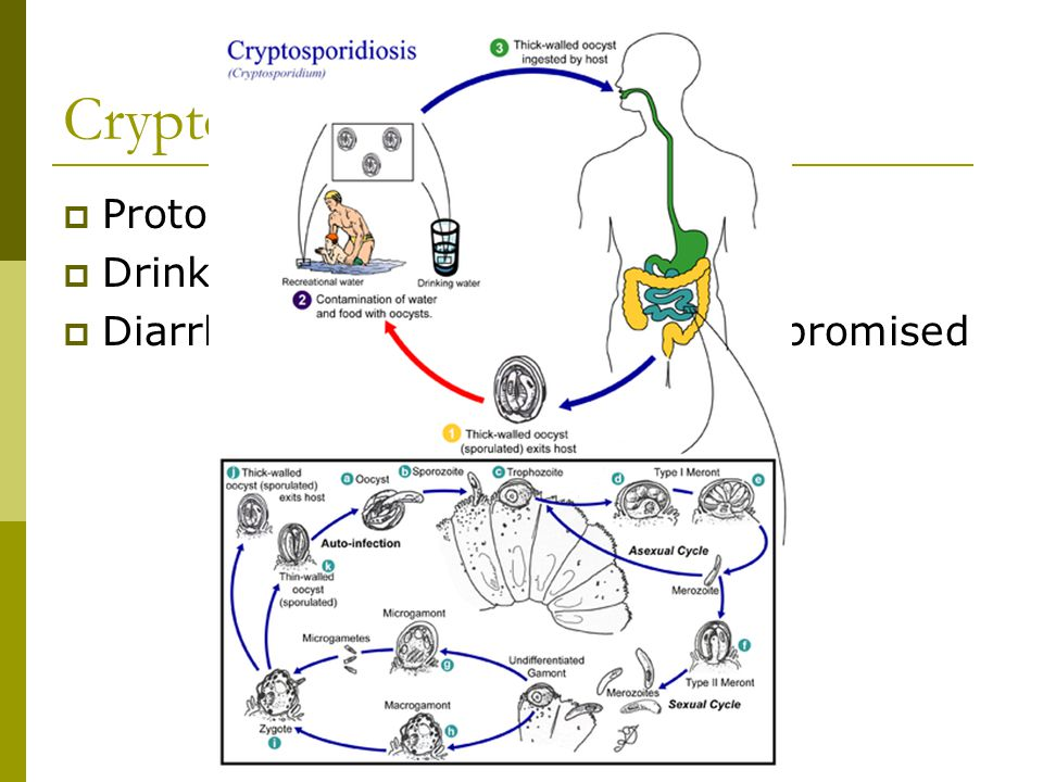 Cryptosporidium Protozoan pathogen Drinking contaminated water