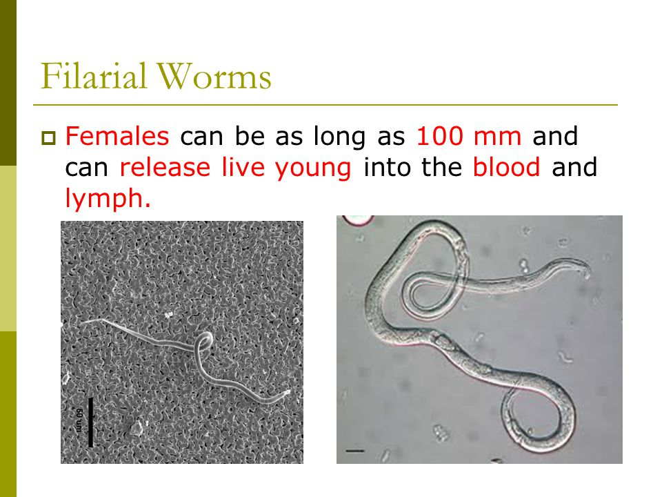 Filarial Worms Females can be as long as 100 mm and can release live young into the blood and lymph.