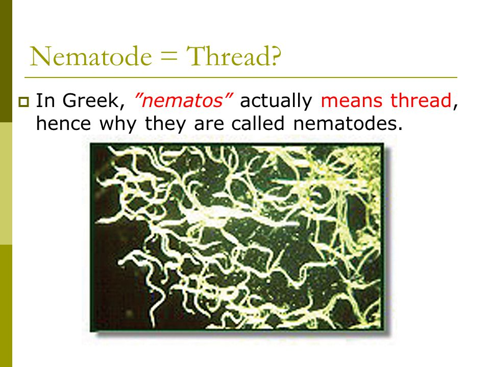 Nematode = Thread In Greek, nematos actually means thread, hence why they are called nematodes.
