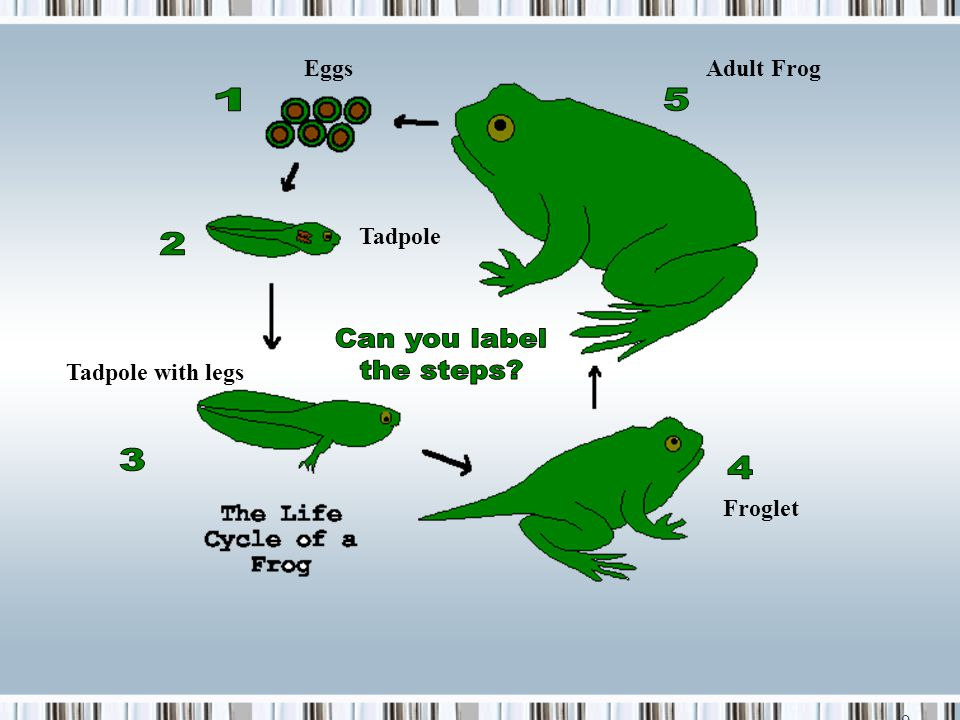 1 5 2 Can you label the steps 3 4 Eggs Adult Frog Tadpole