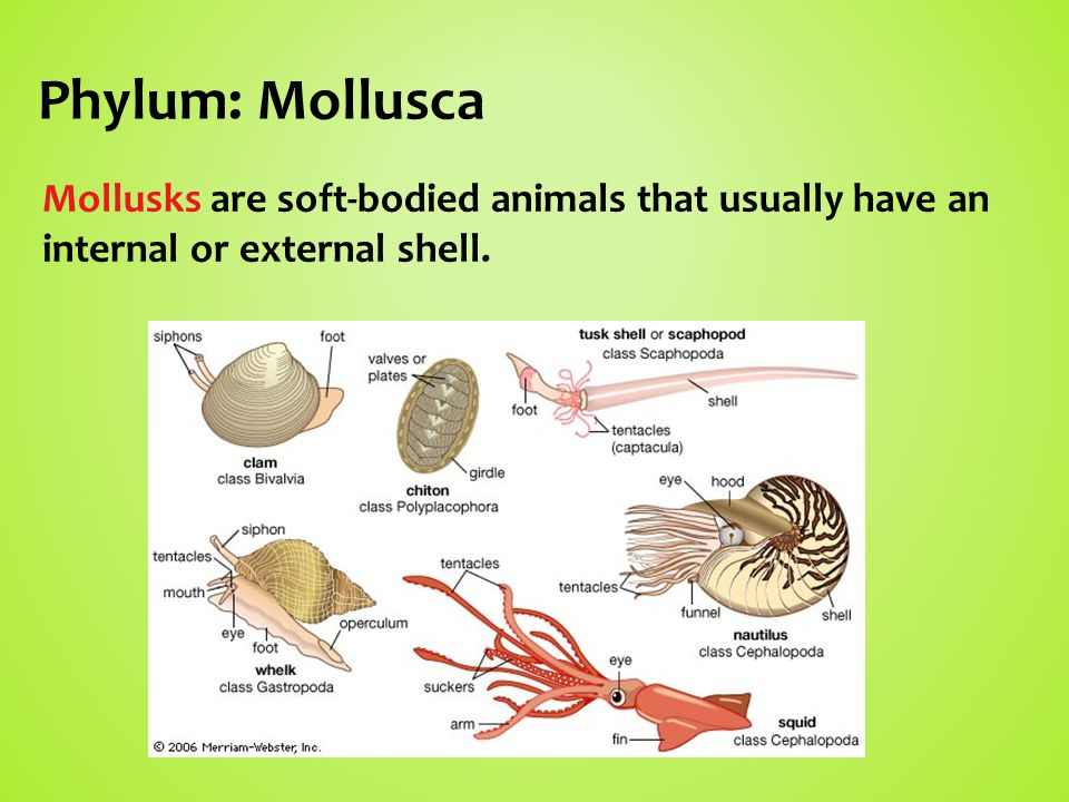 Phylum: Mollusca Mollusks are soft-bodied animals that usually have an internal or external shell.