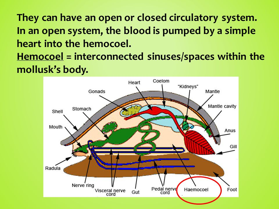 They can have an open or closed circulatory system.