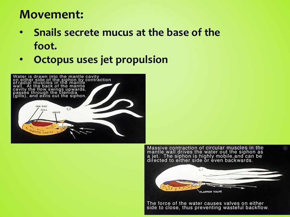 Movement: Snails secrete mucus at the base of the foot.
