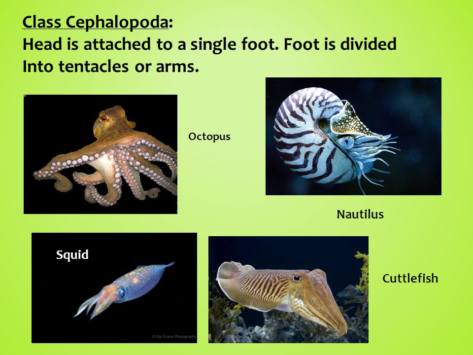 Head is attached to a single foot. Foot is divided
