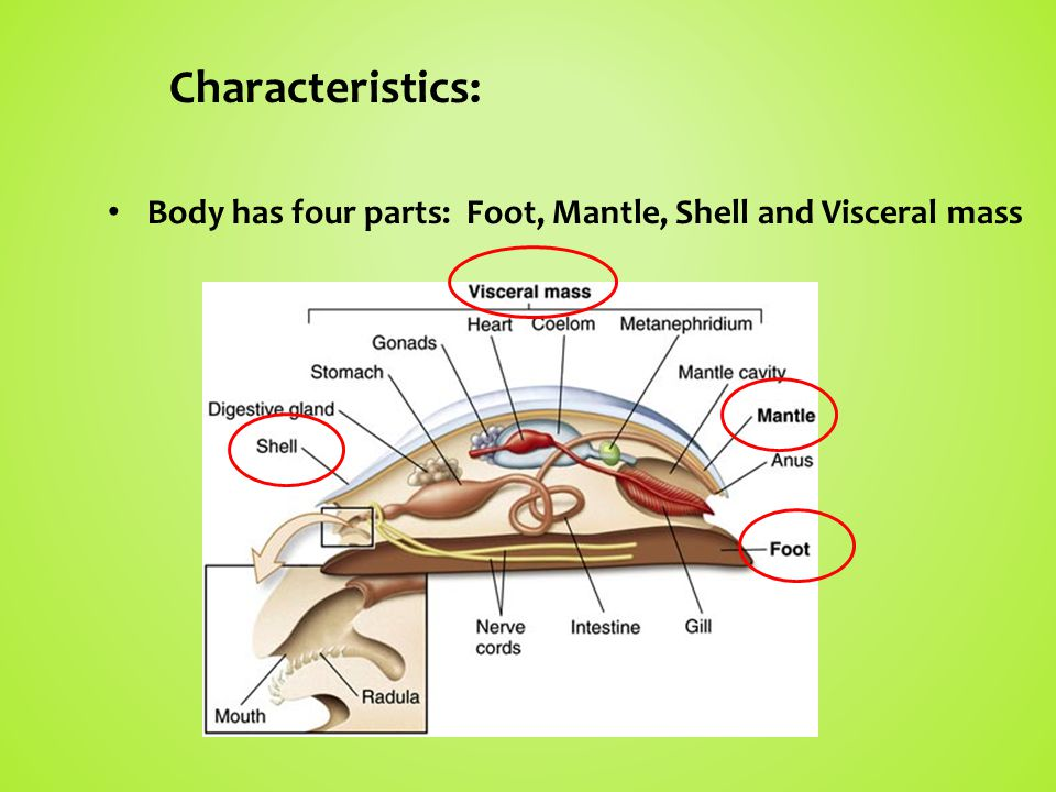Characteristics: Body has four parts: Foot, Mantle, Shell and Visceral mass