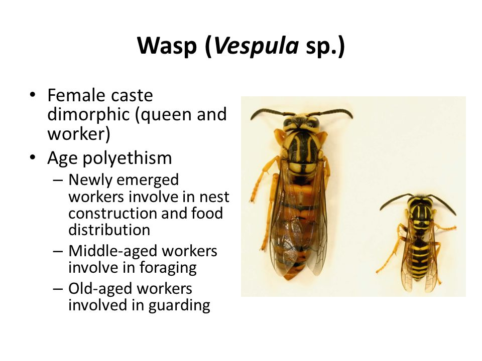 Wasp (Vespula sp.) Female caste dimorphic (queen and worker)