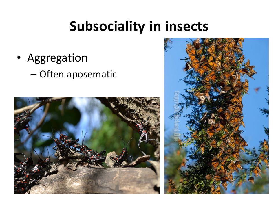 Subsociality in insects