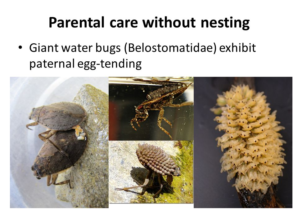 Parental care without nesting