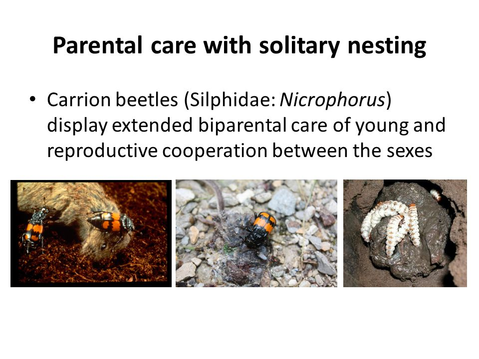 Parental care with solitary nesting