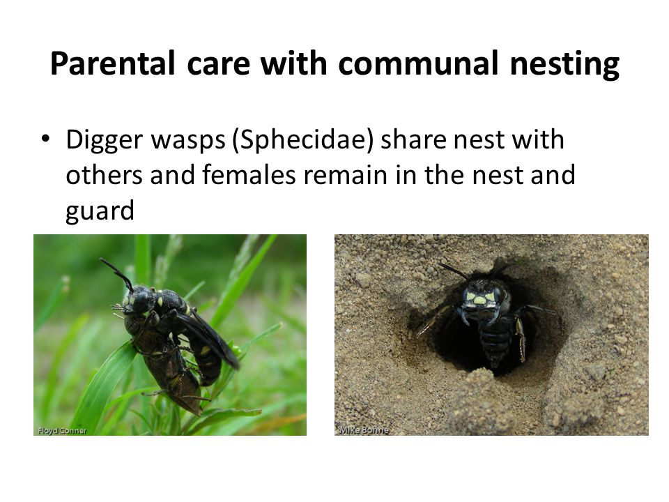 Parental care with communal nesting