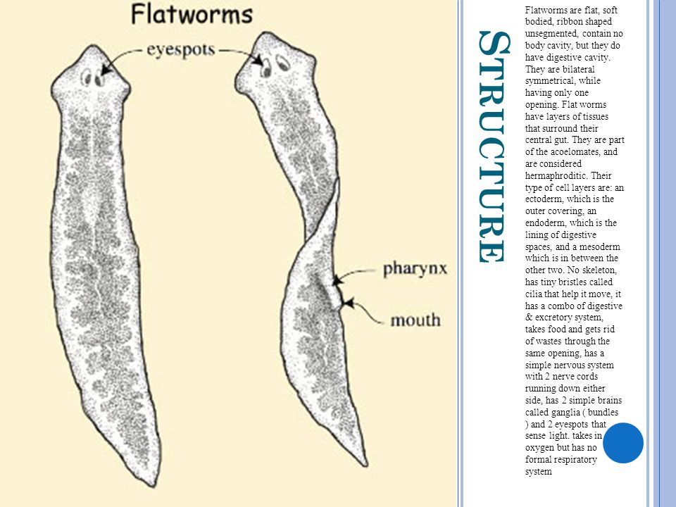 Flatworms are flat, soft bodied, ribbon shaped unsegmented, contain no body cavity, but they do have digestive cavity. They are bilateral symmetrical, while having only one opening. Flat worms have layers of tissues that surround their central gut. They are part of the acoelomates, and are considered hermaphroditic. Their type of cell layers are: an ectoderm, which is the outer covering, an endoderm, which is the lining of digestive spaces, and a mesoderm which is in between the other two. No skeleton, has tiny bristles called cilia that help it move, it has a combo of digestive & excretory system, takes food and gets rid of wastes through the same opening, has a simple nervous system with 2 nerve cords running down either side, has 2 simple brains called ganglia ( bundles ) and 2 eyespots that sense light. takes in oxygen but has no formal respiratory system