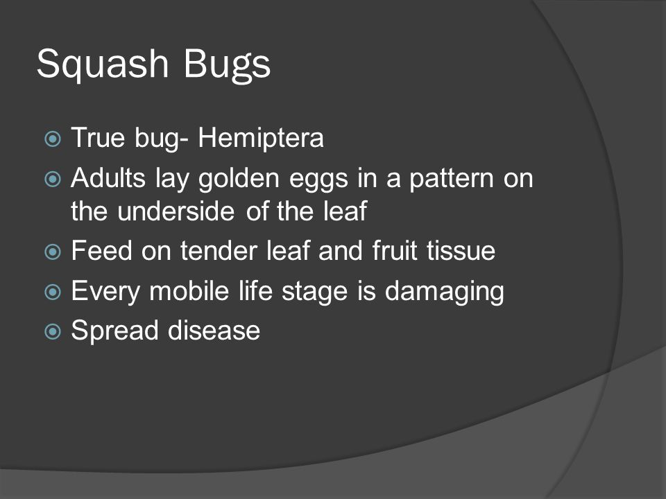Squash Bugs True bug- Hemiptera
