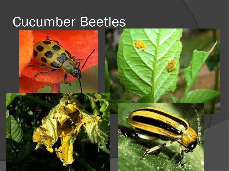 Cucumber Beetles