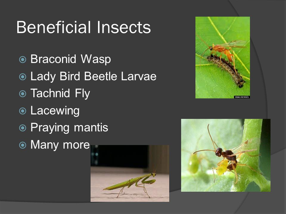 Beneficial Insects Braconid Wasp Lady Bird Beetle Larvae Tachnid Fly