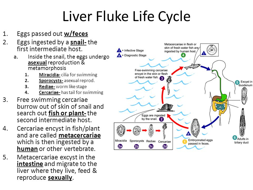 Liver Fluke Life Cycle Eggs passed out w/feces