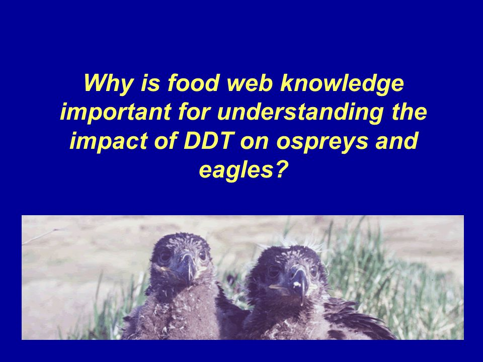 Why is food web knowledge important for understanding the impact of DDT on ospreys and eagles