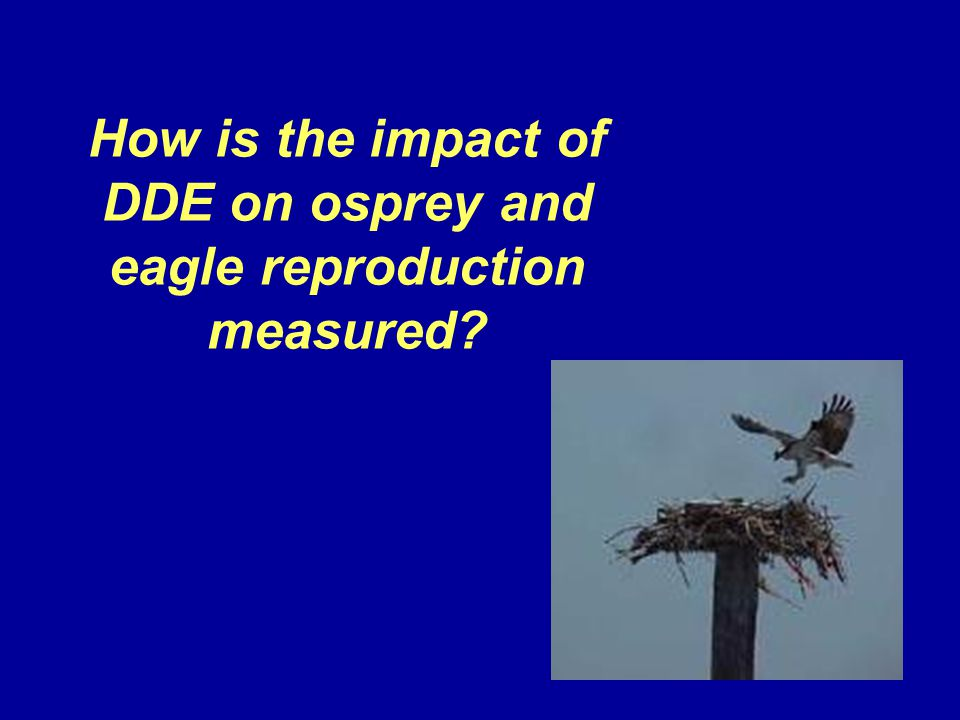 How is the impact of DDE on osprey and eagle reproduction measured