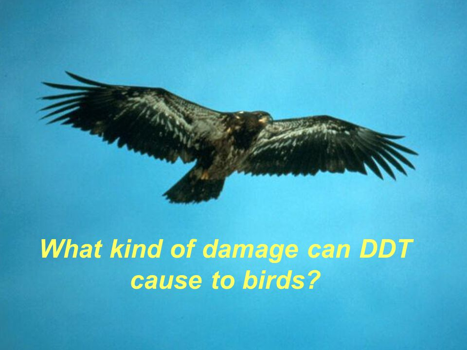 What kind of damage can DDT cause to birds